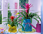 Guzmania wrapped in colorful striped bags on the windowsill