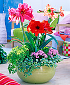 Hippeastrum, red, pink, with drawing, planted with Adiantum