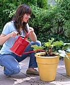Plant rhubarb in tubs