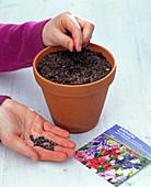 Sowing of Lathyrus odoratus (sweet pea)