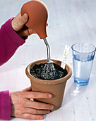 Zucchini sowing in a clay pot