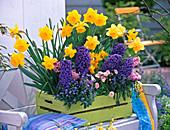 Narcissus 'Dutch Master' (Daffodil), Hyacinthus 'Blue Jacket'
