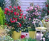 Camellia 'Kanshiro' red flowering and 'Spring Festival' roseblossom