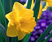 Narcissus 'Carlton' (Yellow Trumpet Daffodil)