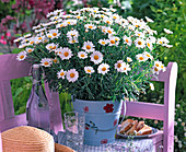 Argyranthemum frutescens (Margerite) in metal pail
