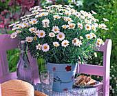 Argyranthemum frutescens (Margerite) in metal pail