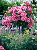 Pink 'Medley Pink' (Stem Rose)