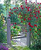 Rosa 'Greeting to Heidelberg' (climbing rose), often flowering