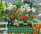 Narcissus 'Geranium' (Scented Daffodil), Tulipa 'Princess Irene'