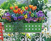 Tulipa 'Princess Irene' (tulip), Viola cornuta and wittrockiana
