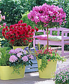 Rhododendron 'Cheer', 'Hino Crimson' (Japanese Azalea)