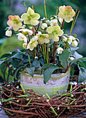 Helleborus Gold Collection (Christmas rose) in a Larix wreath