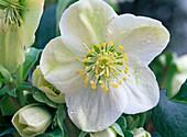 Helleborus niger (Christmas rose)