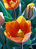 Blick in die geöffnete Blüte von Tulipa 'Prinzess Irene'