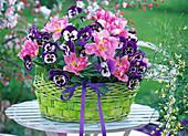 Green basket planted with Tulipa 'Peach Blossom', Viola