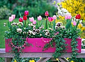Pink wooden flower box with tulipa, viola