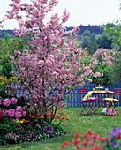 Flowering Malus 'Van Eseltine' in spring bed with rhododendron