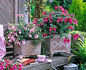 Fuchsia in rose and pink in square pots with relief pattern