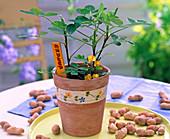 Arachis hypogaea (peanut) in clay pot, peanuts