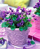 Viola odorata in purple relief planter on the table, flowers