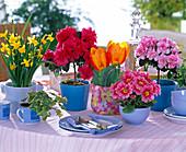 Narcissus, Azalea, Tulipa, Primula
