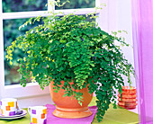 Adiantum raddianum (maidenhair fern) in orange planter