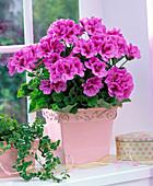 Pelargonium grandiflorum in square pink planter