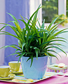 Chlorophytum laxum (green lily) in light blue planter on table