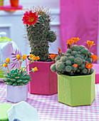 Echeveria (echeveria), Echinocereus (hedgehog cactus), Rebutia