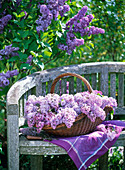 Syringa vulgaris (lilac) in basket on wooden bench, purple cloth