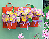 Bouquet of Viola 'Etain' (yellow violet), yellow with purple border
