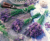 Lavandula (lavender) bundled to dry, scissors