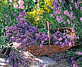 Lavandula (lavender) cut in wicker basket