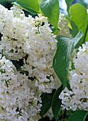 Syringa vulgaris 'Mont Blanc' (lilac)