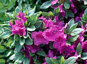 Rhododendron obtusum 'Königstein' (Japanese Azalea)