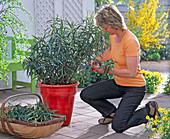 Cut back Nerium (oleander) after overwintering
