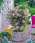 Jasminum polyanthum ( room jasmin) on pink trellis
