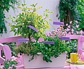 Salvia 'Icterina' (sage) Stem, Thymus citriodorus