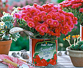 Mesembryanthemum (iceplant) in tomato can
