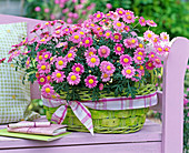 Argyranthemum, in the light green basket