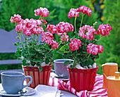 Pelargonium 'Little Lady Bicolor' (standing mini geranium)