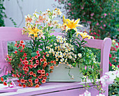 Wooden box with Calibrachoa 'Fire'