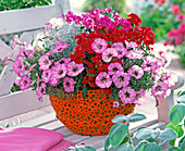 Petunia, dianthus (carnation), calocephalus (barbed wire)