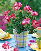 Pelargonium 'Little Lady Bicolor' (mini geranium)