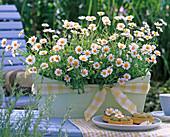 Argyranthemum 'White Basket'