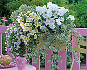 Petunia Sylvana 'White Improved', 'Vanilla' (Petunia)