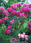Rhododendron 'Anne Rose Whitney' (Alpenrose)