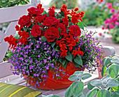 Rosa (dwarf rose), Salvia splendens (fire sage)