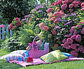 Picnic area in front of blooming hydrangea (hydrangea bed)