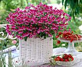 Pelargonium Angeleyes 'Burgundy' (Angel Geranium)
